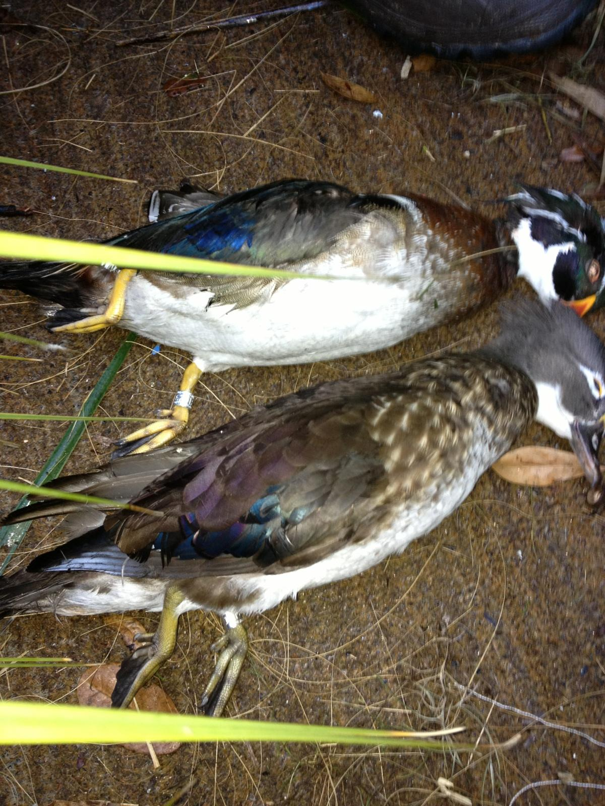 Banded woodies.JPG
