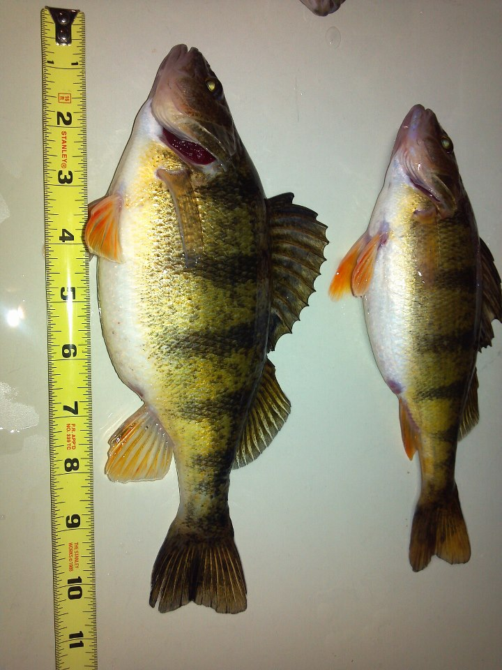 big perch.jpg
