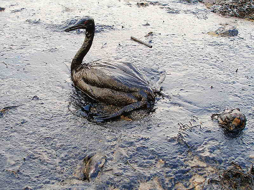 Oil Spill and Impact on Waterfowl