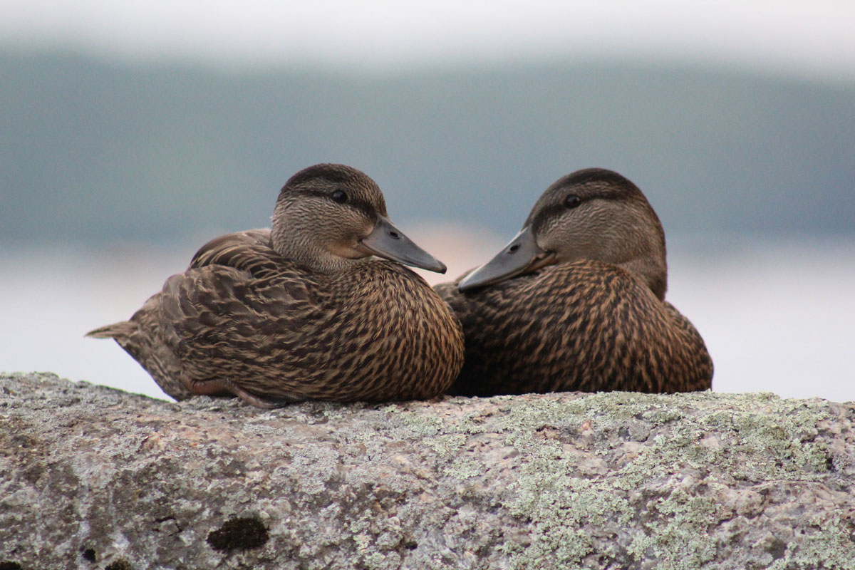 blackduck10.jpg