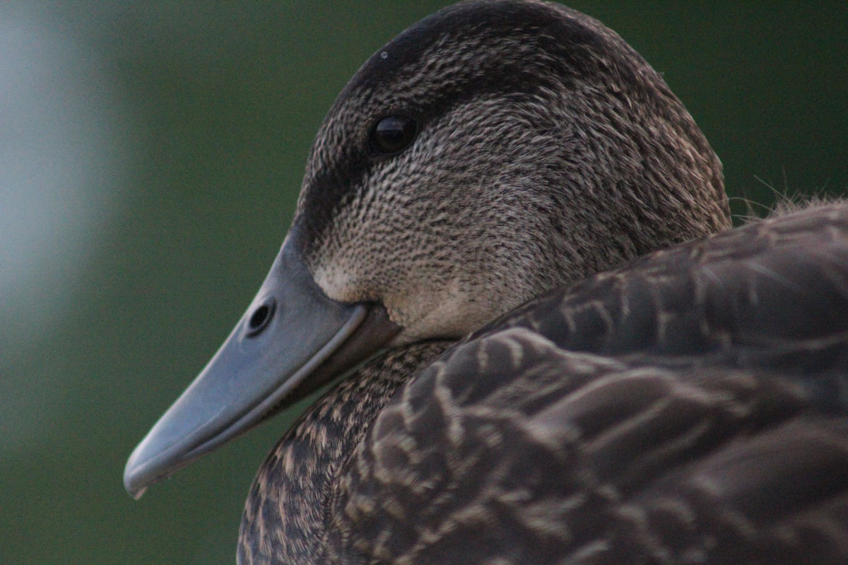blackduck8.jpg