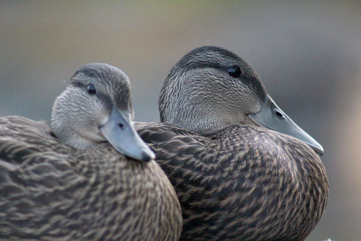 blackduck9.jpg