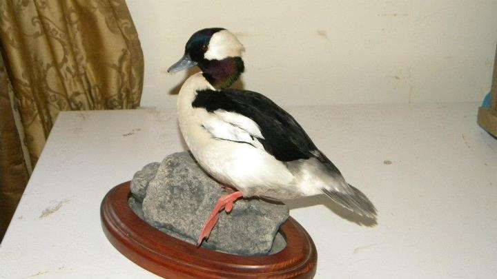 bufflehead mount.jpg