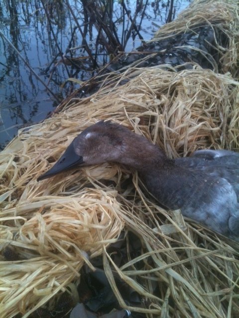 canvasback.JPG