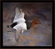 canvasback mount.jpg