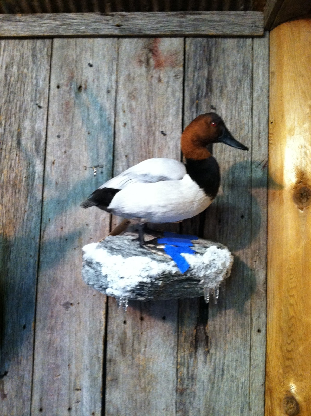 canvasback22.JPG