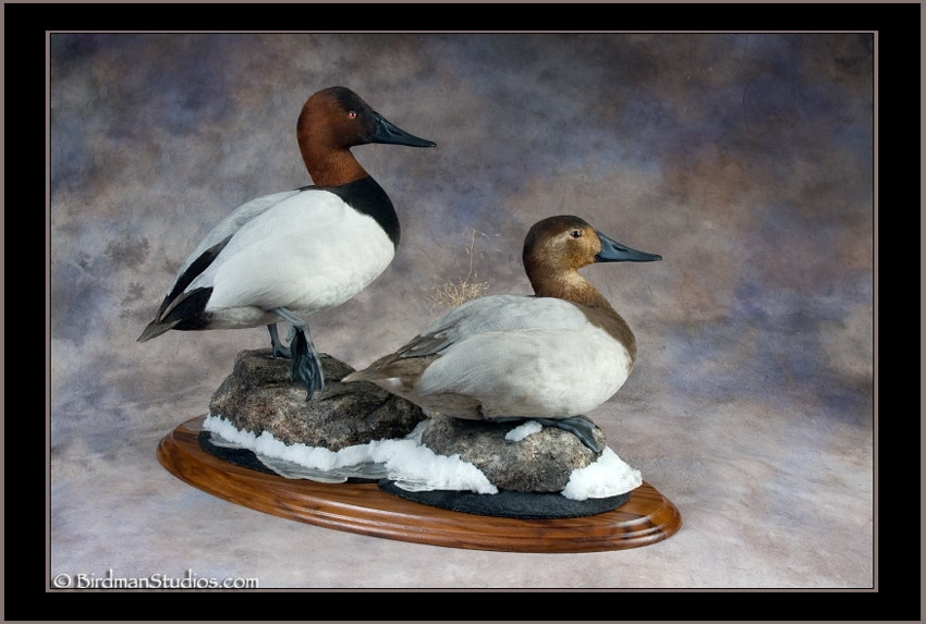 canvasback_pair_(1).jpg