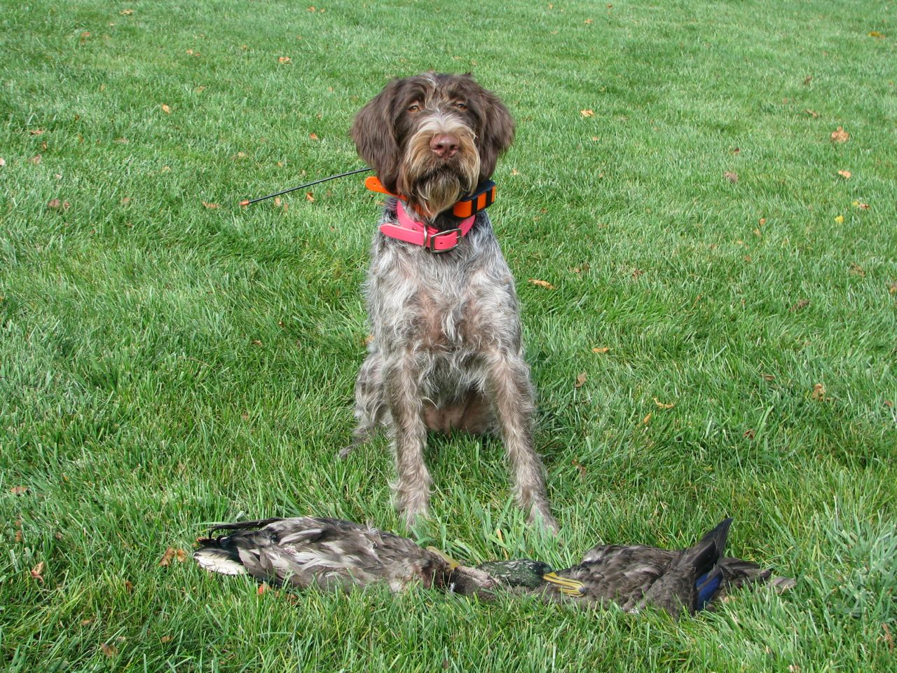 Dixie's First Hunt.jpg