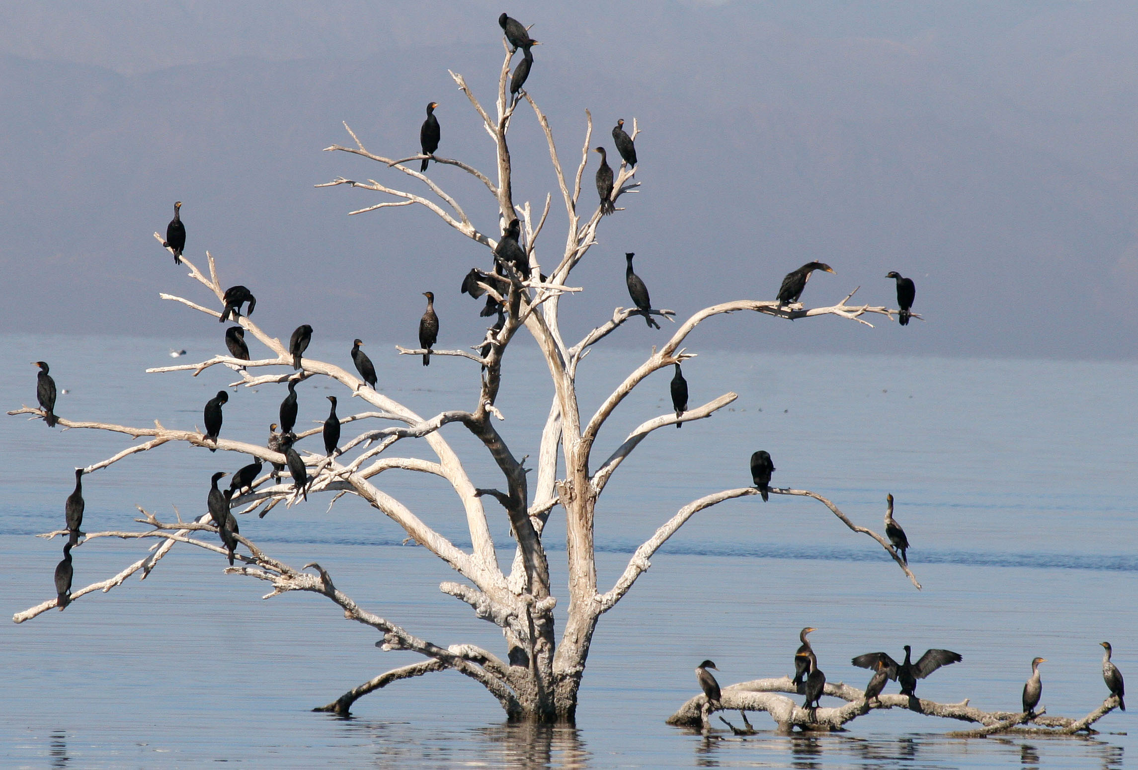 Double-crested Cormorant, many roosting (Salton Sea, Feb.).jpg