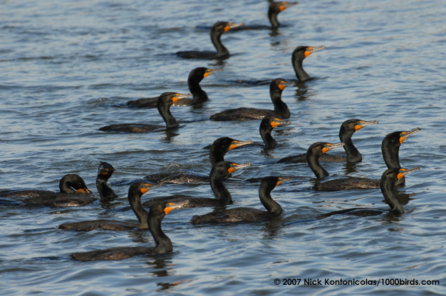 Double-crested-Cormorant462.jpg