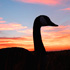 Early Canada Goose Season Opens Aug. 15 in North Dakota