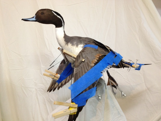 grandma 90 pintail 044 - Copy.JPG