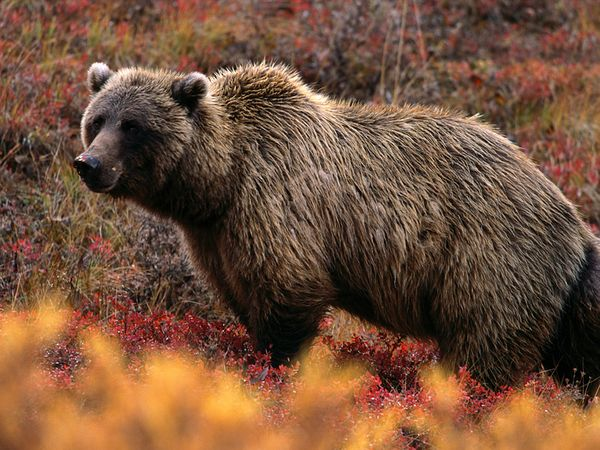 How Fast Can a Grizzly Run?