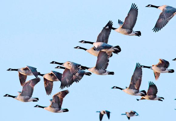 HIP Goose Data