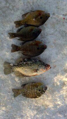 ice fishing 5 fish.jpg