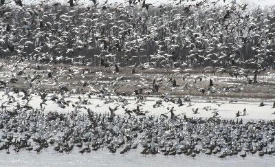light-geese2