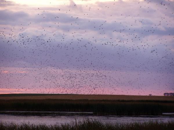 Field Mallard Hunting
