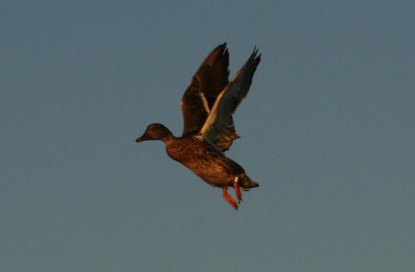 Mississippi Duck Hunt