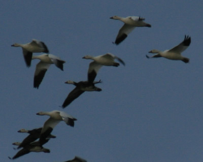 Mississippi has it's share of snow geese too in the fall