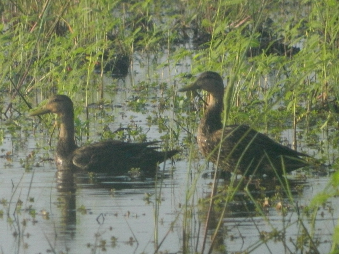 Mottled ducks landed.JPG