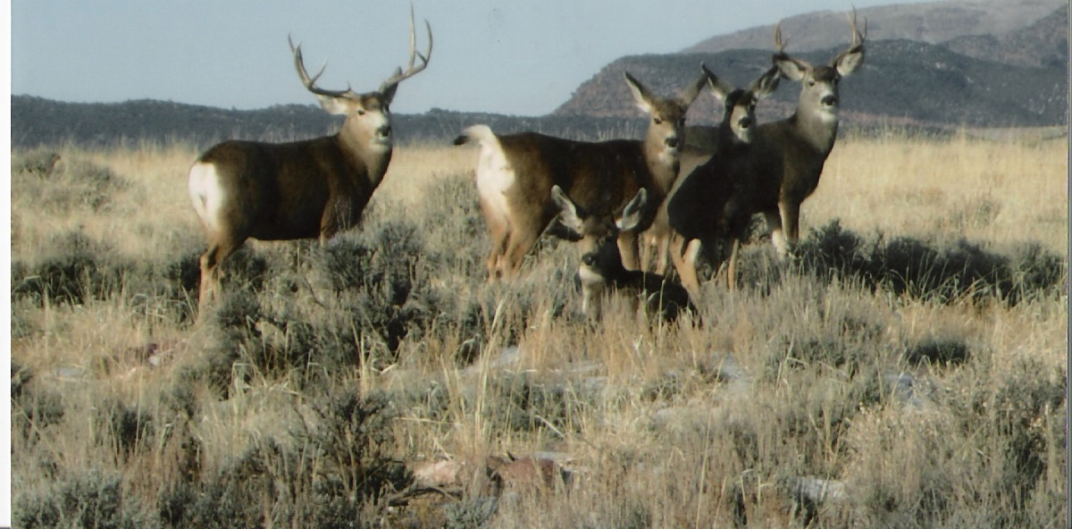 mule deer group 2.jpg