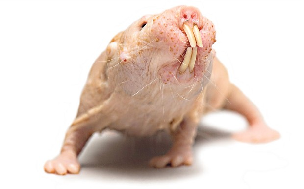 naked-mole-rat_2599114b.jpg