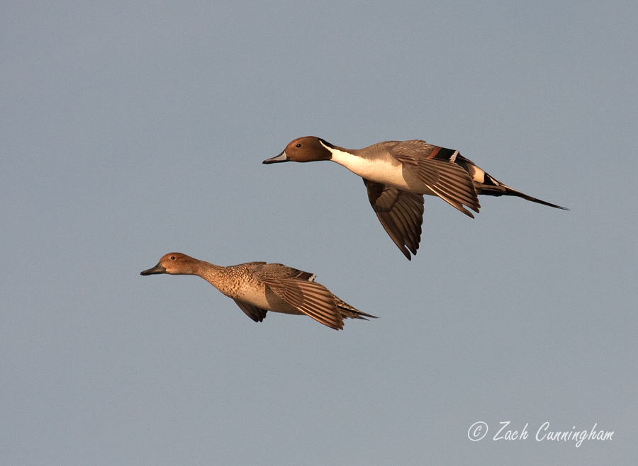 Pintail Pair (900).jpg