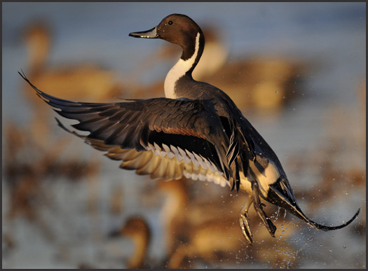 Pintail-taking-off-close-3S2611.jpg