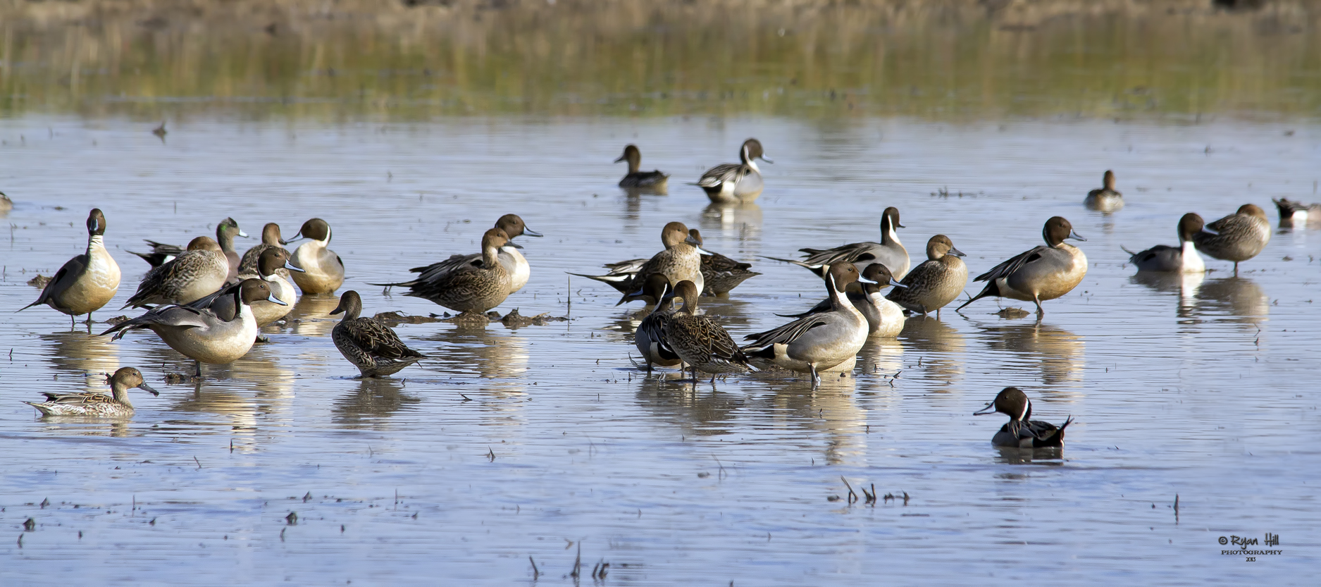 Pintails1.jpg