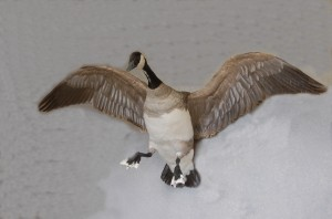 Quill-lake-Canada-Goose-300x198.jpg