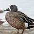 Duck Numbers Down Slightly in North Dakota
