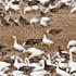 Light Geese Sightings in North Dakota