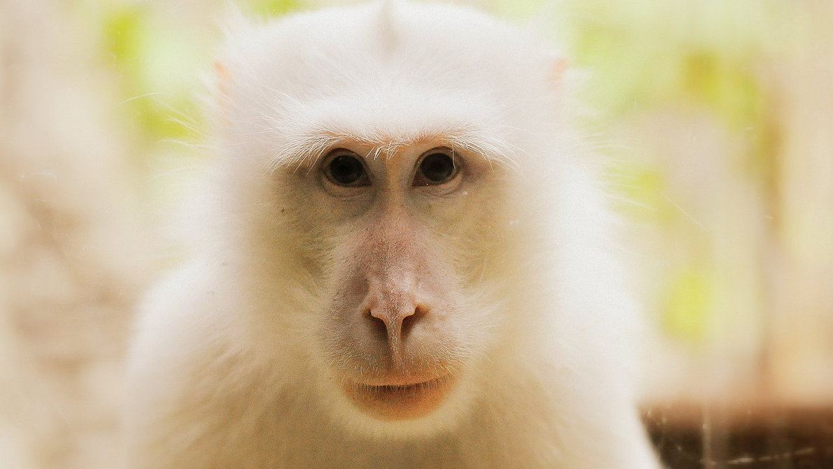 white_monkey_by_zerofunk-d5tfza2.jpg