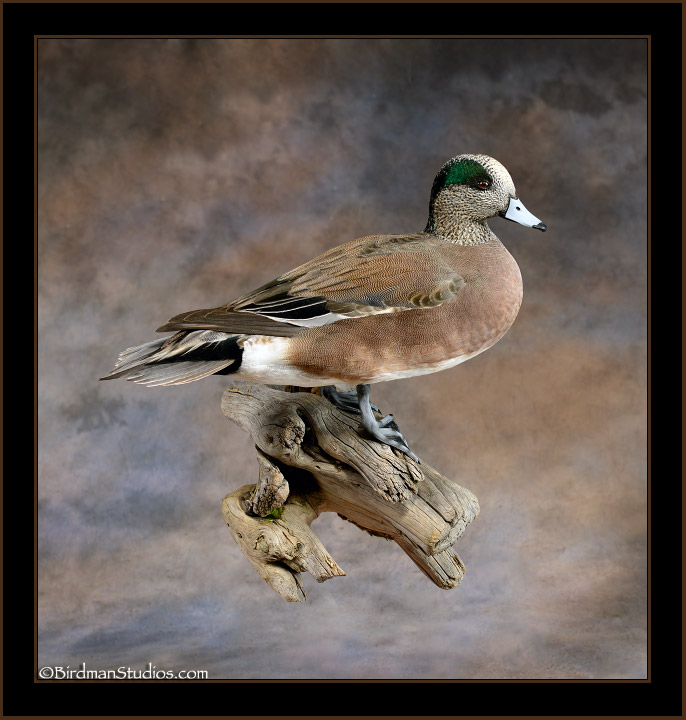 widgeon-stand.jpg